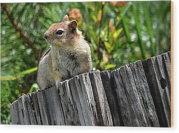 Curious Chipmunk Wood Print by AJ Schibig