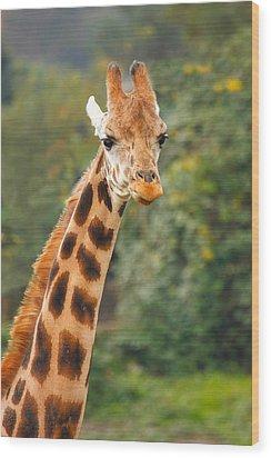 Curious Giraffe Wood Print by Naman Imagery