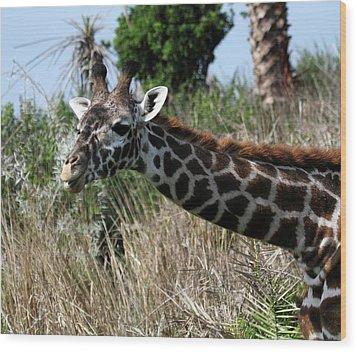 Curious Giraffe Wood Print by Mary Haber