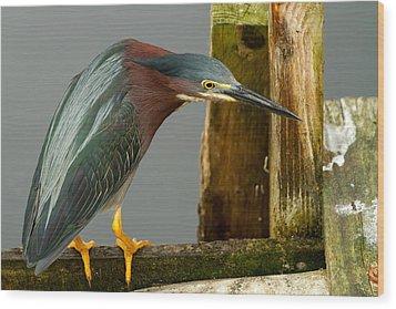 Curious Green Heron Wood Print