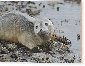 Curious Harbor Seal Pup Wood Print by DejaVu Designs