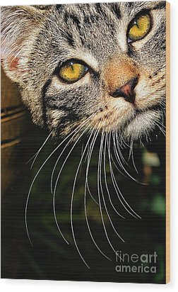 Curious Kitten Wood Print by Meirion Matthias