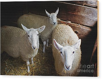 Curious Sheep Wood Print by Kevin Fortier
