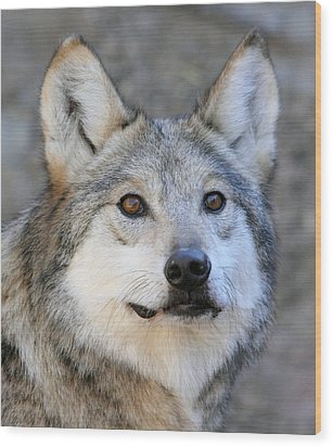 Curious Wolf Wood Print by Elaine Malott