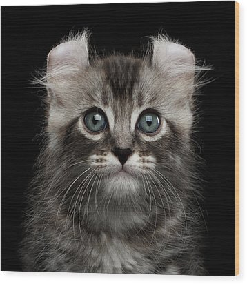 Cute American Curl Kitten With Twisted Ears Isolated Black Background Wood Print by Sergey Taran