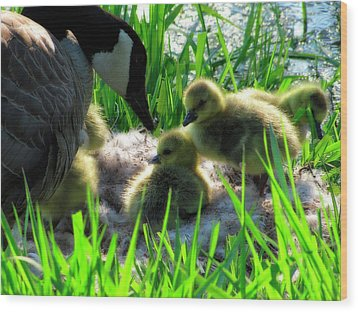 Cute And Fuzzy - Take 3 Wood Print by Scott Hovind