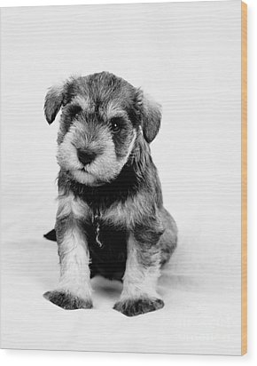 Cute Puppy 1 Wood Print by Serene Maisey