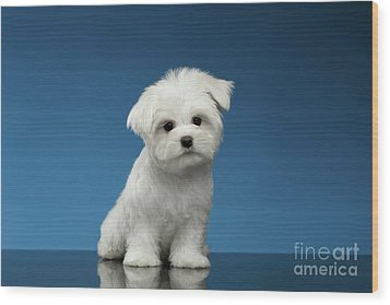 Cute Pure White Maltese Puppy Standing And Curiously Looking In Camera Isolated On Blue Background Wood Print