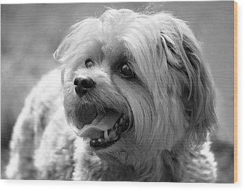 Cute Yorkie - Yorkshire Terrier Dog Wood Print by Tracie Kaska