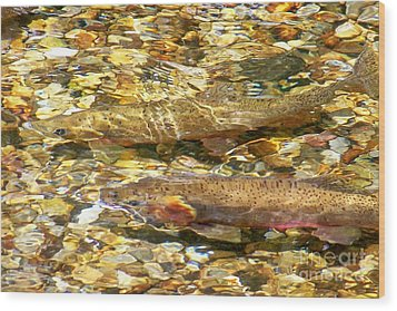 Cutthroat Trout In Clear Mountain Stream Wood Print by Greg Hammond