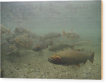 Cutthroat Trout Swim Wood Print by Michael S. Quinton