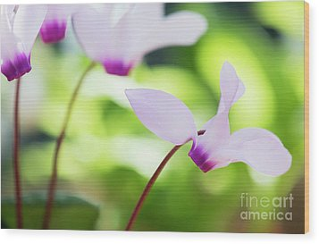 Wood Print featuring the photograph Cyclamen Persicum by Tim Gainey