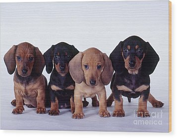 Dachshund Puppies  Wood Print