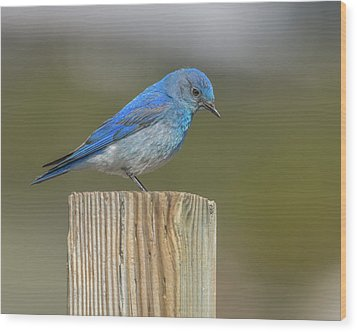 Daddy Bluebird Guarding Nest Wood Print