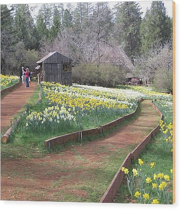 Daffodil Hill Pathway Wood Print by Karen J Shine