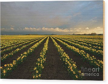 Wood Print featuring the photograph Daffodil Storm by Mike Dawson