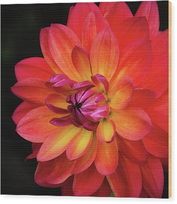 Wood Print featuring the photograph Dahlia Firepot  by Julie Palencia