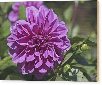 Dahlia Wood Print by Frank Russell