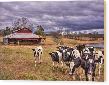 Dairy Heifer Groupies The Red Barn Art Wood Print