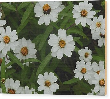 Daisies Wood Print by Frank Wickham