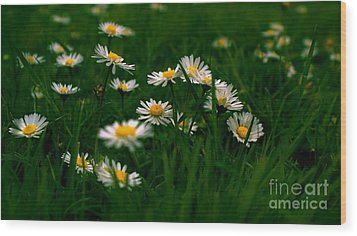 Daisies Wood Print by Louise Fahy