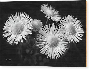 Wood Print featuring the photograph Daisy Flowers Black And White by Christina Rollo