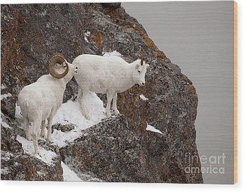 Dall Sheep On A Ledge Wood Print by Tim Grams