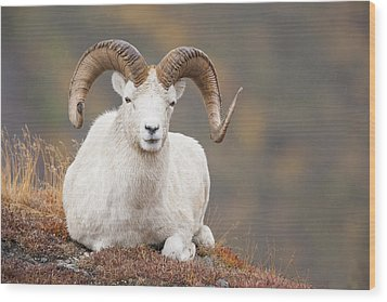 Dall Sheep Ram Wood Print by Tim Grams