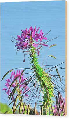 Wood Print featuring the photograph Dancing Cleome by Debbie Stahre
