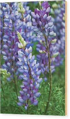 Wood Print featuring the photograph Dancing Lupines - Spring In Central California by Ram Vasudev