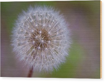 Wood Print featuring the photograph Dandelion by April Reppucci