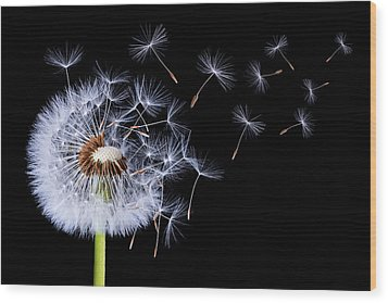 Wood Print featuring the photograph Dandelion Blowing On Black Background by Bess Hamiti