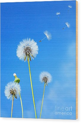 Dandelion Field Wood Print