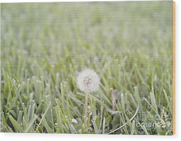 Wood Print featuring the photograph Dandelion In The Grass by Cindy Garber Iverson