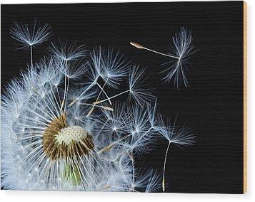 Wood Print featuring the photograph Dandelion On Black Background by Bess Hamiti