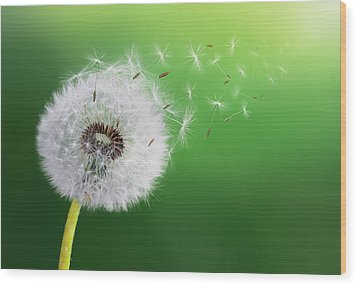 Wood Print featuring the photograph Dandelion Seed by Bess Hamiti