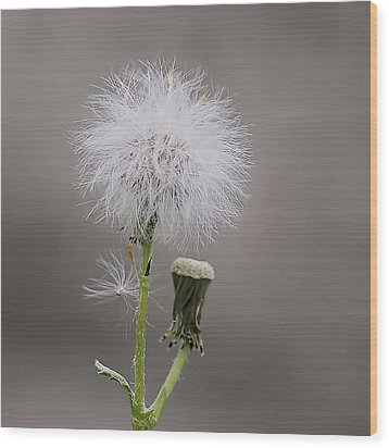 Wood Print featuring the photograph Dandelion Seed Head by Rona Black