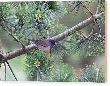 Dark-eyed Junco On A Pine Tree Wood Print by David Gn