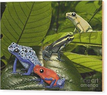 Dart-poison Frogs - Poison-dart Frogs Dendrobatidae - Baumsteiger Frosch - Pijlgifkikkers Wood Print by Urft Valley Art