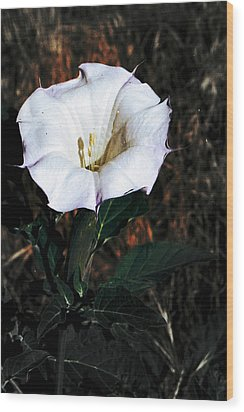 Datura Blossum Wood Print by Richard Henne