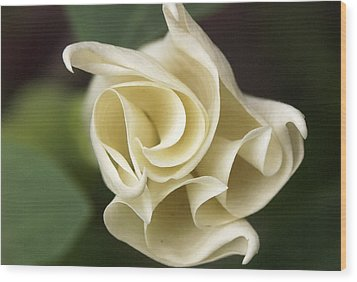 Datura Wood Print by Tom  Wray