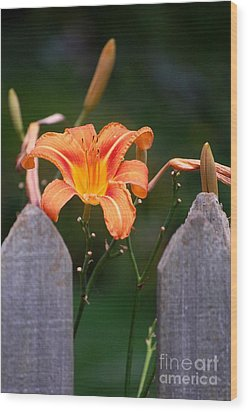 Day Lilly Fenced In Wood Print by David Lane