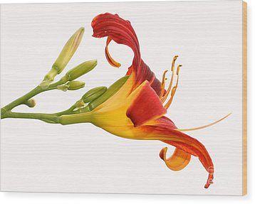 Daylily  Wood Print by Steve Augustin