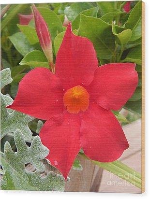 Mandevilla Deep Red Flower Wood Print