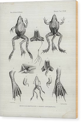 Wood Print featuring the drawing Deformed Frogs - Historic by Joseph Huet