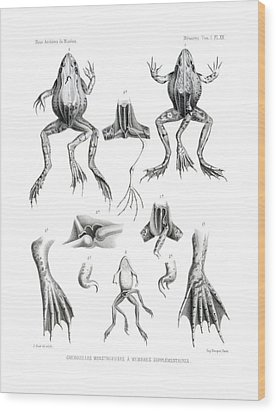 Wood Print featuring the drawing Deformed Frogs by Joseph Huet
