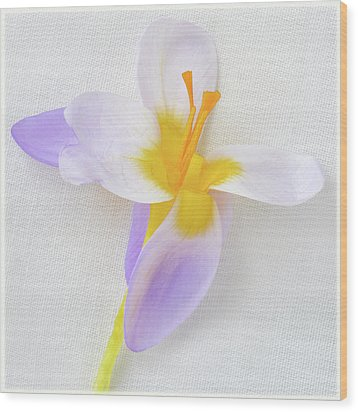 Wood Print featuring the photograph Delicate Art Of Crocus by Terence Davis