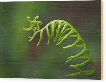 Wood Print featuring the photograph Delicate Fern Frond Spiral by Rona Black