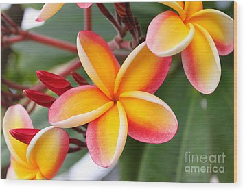Delicate Plumeria Wood Print by Brian Governale