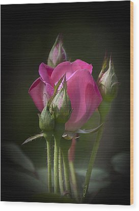 Delicate Rose With Buds Wood Print